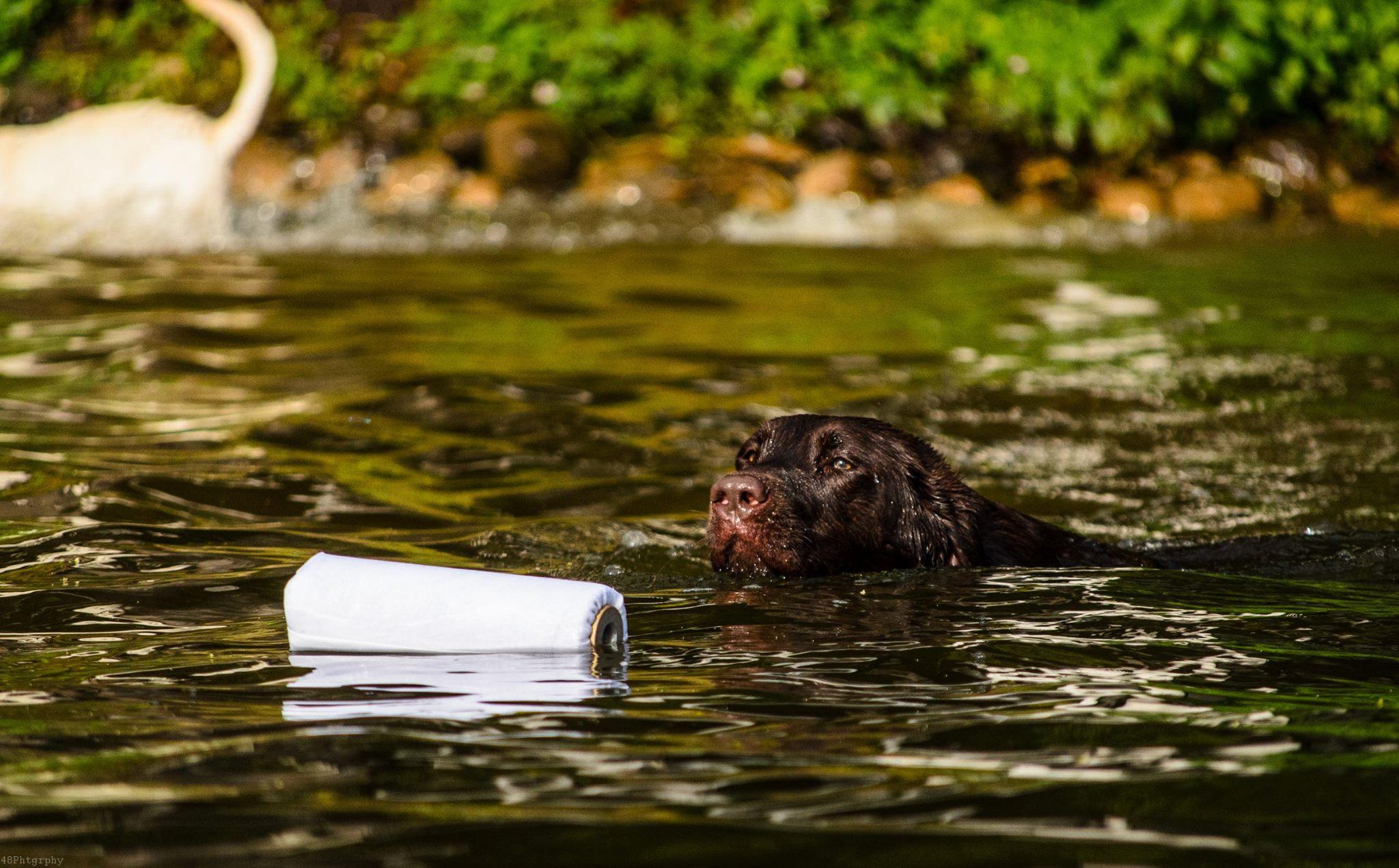 Dog days for Koi pond labradors